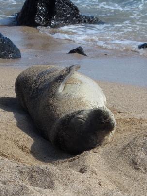 Monk Seal photograph by: enilorak